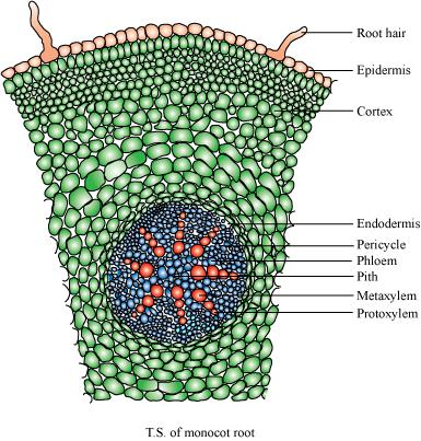internal structure of a monocot You to the internal structure and functional organisation of higher plants study of  internal  their internal structure within angiosperms, the monocots and dicots.